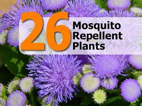 plants mosquito repellent 26 mosquito repellent plants