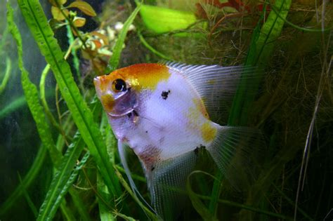 types  angelfish color variations