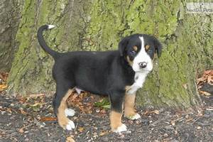 greater swiss mountain dog dogs puppies for sale