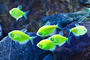 glofish1.jpg