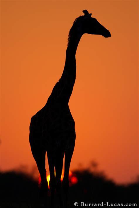 giraffe silhouette burrard lucas photography