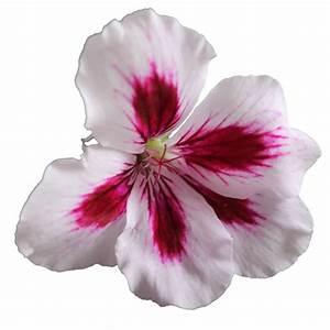 PNG Geranium Flower 02 by the-night-bird on DeviantArt