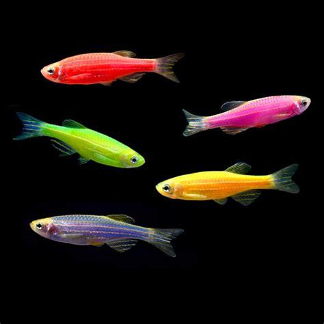 glofish information aquatic mag