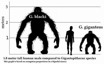 Human Gigantopithecus Svg V1 Wikipedia Comparison Ape
