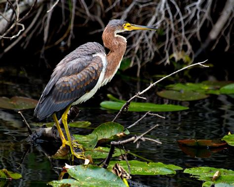 what color is heron the tricolored heron more than just a pretty fsu