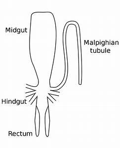 Malpighian Tubule System