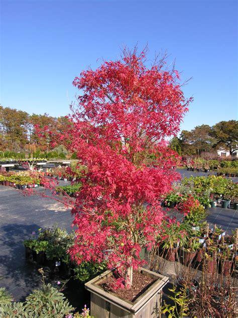 where to plant a japanese maple kamagata japanese maple katsura gardens