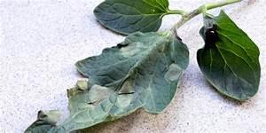 Tomatenblätter Rollen Sich Ein : gesunde tomatenpflanzen umweltbundesamt ~ Lizthompson.info Haus und Dekorationen