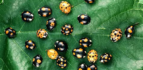 red  black  genetics  ladybug spots