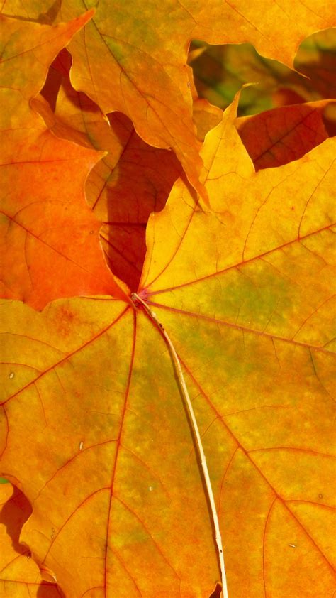 Fall Iphone Wallpaper Leaves by Fall Leaves Iphone Wallpaper Idrop News