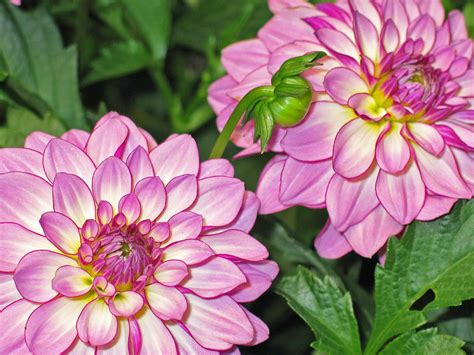 Dahlia Dahlias Garden Pink Image In Backgrounds And