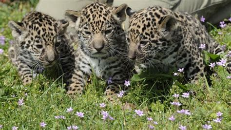 Spot The Differences Between Leopards, Jaguars, And