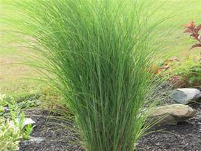 ornamental grasses you had me at quot hello quot an obsessive neurotic gardener