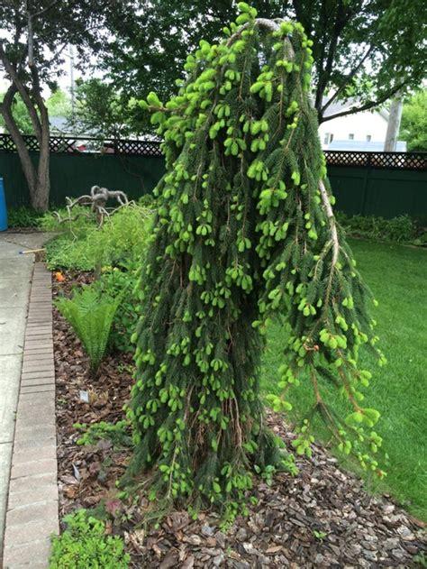 Schnellwachsende Immergrüne Sträucher by Immergr 252 Ne B 228 Ume Differenzierung Garten Gartenarbeit