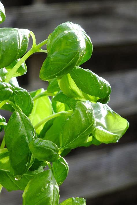 17 meilleures id 233 es 224 propos de semis basilic sur basilic plante plante de basilic