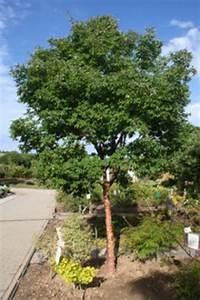 Kleine Bäume Bis 3m : baumschule mayer in weikersheim b ume klein 5 10 m ~ Articles-book.com Haus und Dekorationen