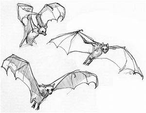 Fruit Bat Drawings