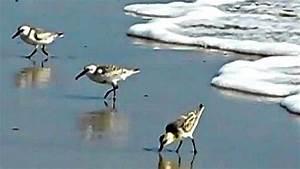 Birds Playing Catch and Run at Oxnard California Beach ...