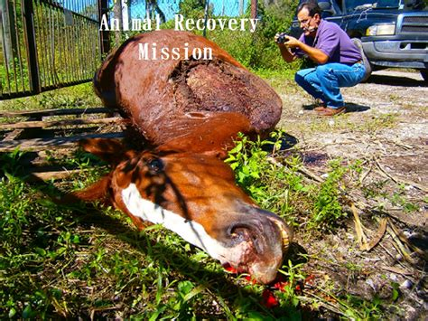 slaughter horse illegal meat violent racehorse animal operations animalrecoverymission