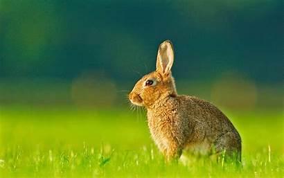 Rabbits Wallpapers Desktop Rabbit Lovely Backgrounds Animal
