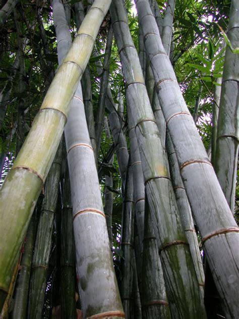 Bamboo Australia » Giant bamboo