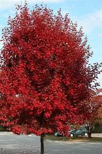 buy brandywine maple tree for sale from wilson bros