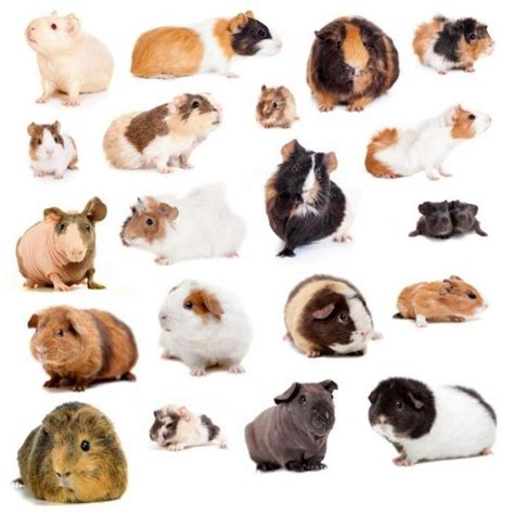 guinea pig breeds guinea pig breeds hair types and colors