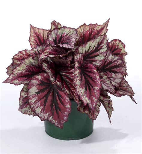 black king size begonia rex shadow king green fuse botanicals inc