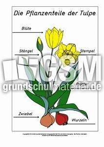 Aufbau Der Zwiebel : teile der tulpe beschriftet zusatzmaterial lapbook ~ Lizthompson.info Haus und Dekorationen