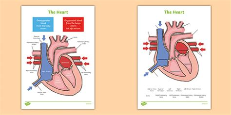the heart labelling diagrams the heart heart human