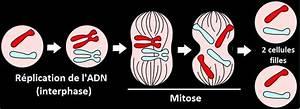 Definition mitose futura sante for Plan de maison simple 14 definition mitose futura sante
