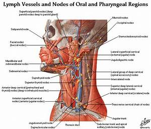 Head And Neck Anatomy Muscles Blood Supply Diagrams Free
