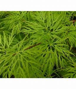 Japanischer Ahorn Im Kübel : japanischer f cher ahorn 39 emerald lace 39 dehner ~ Michelbontemps.com Haus und Dekorationen