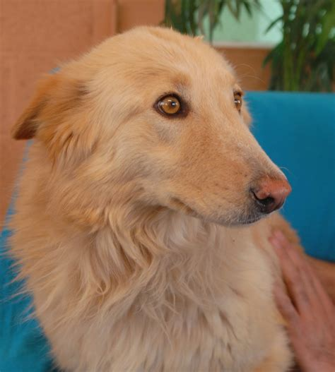 Gold Star A Collie And Golden Retriever Mix Debuting For