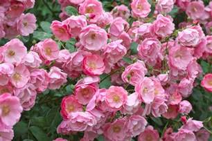 kitchen staging ideas pruning and climbing roses step by step