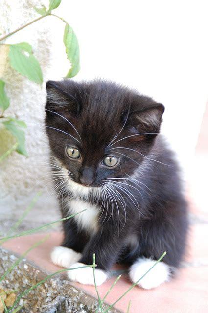tuxedo cat cat breeds encyclopedia