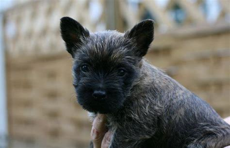 Miniature Dogs Dont Shed by Small Dog Breeds That Don T Shed 17 Dogs You Ll Adore