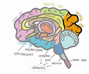 Occipital Lobe Stroke  Understanding Vision Problems  And