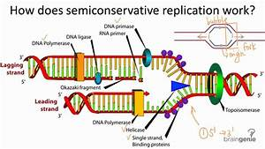 10 2 2 Semiconservative Replication