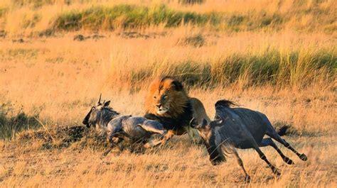 wild hunting lion kenya young edge mara masaai beast