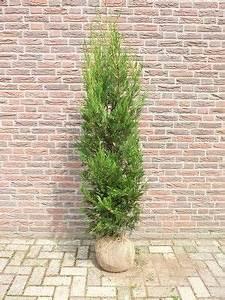 Ficus Benjamini Gelbe Blätter : leyland zypresse leyland zypresse gr ne baumzypresse riesenzypresse cupressocyparis leylandii ~ Watch28wear.com Haus und Dekorationen