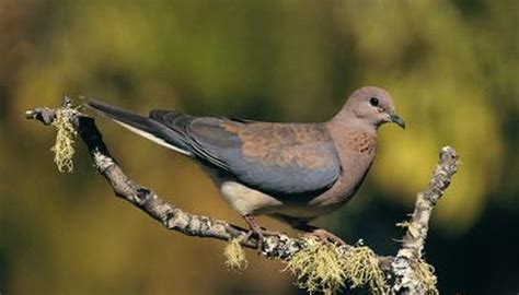 information  pet ringneck doves animals momme