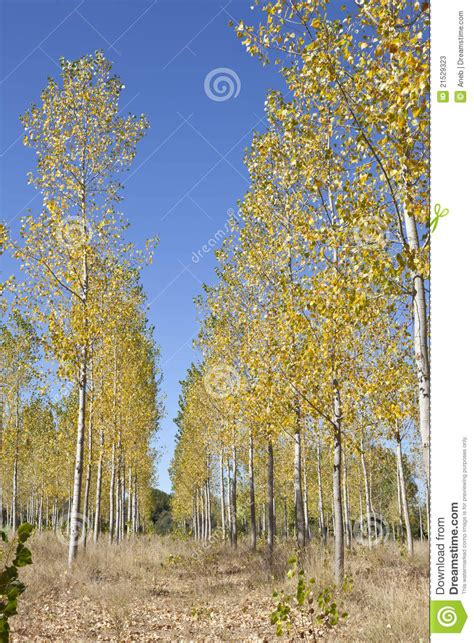 Poplars in autumn stock image. Image of forest, plant - 21529323