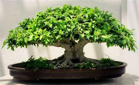 бонсай уход и условия содержания выращивание бонсай дома flowertimes ru