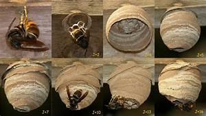 Comment Tuer Un Frelon : nid de frelon asiatique en construction youtube ~ Melissatoandfro.com Idées de Décoration