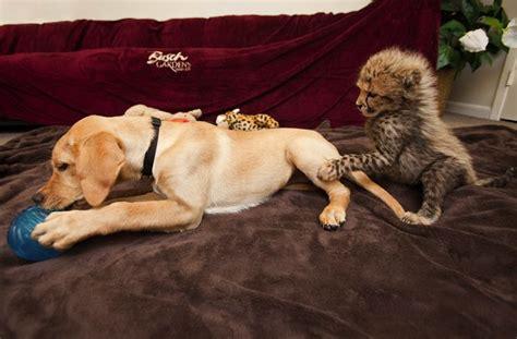 animal friendship dog  cheetah fuzzy today