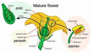Pedicel  Botany