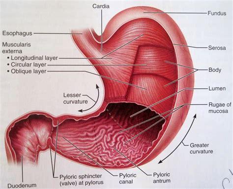 Stomach Parts Diagram  Anatomy Organ