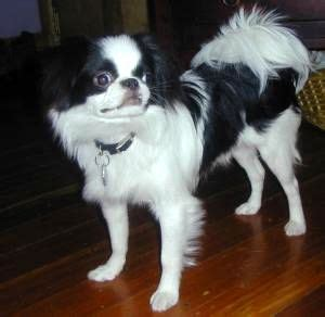 japanese chin wikipedia