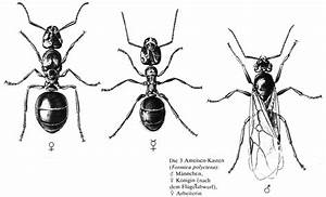 Ameisen Mit Flügel : fortpflanzung ~ Buech-reservation.com Haus und Dekorationen